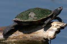 Southern Black Knobbed Map Turtle For Sale by 1000 Images About Map Turtles On Turtles