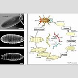 Fruit Fly Life Cycle Stages | 1051 x 685 jpeg 212kB