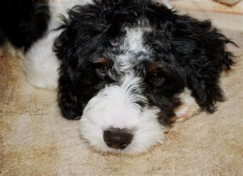 mini springerdoodle 10 springer spaniel cross breeds you to see to