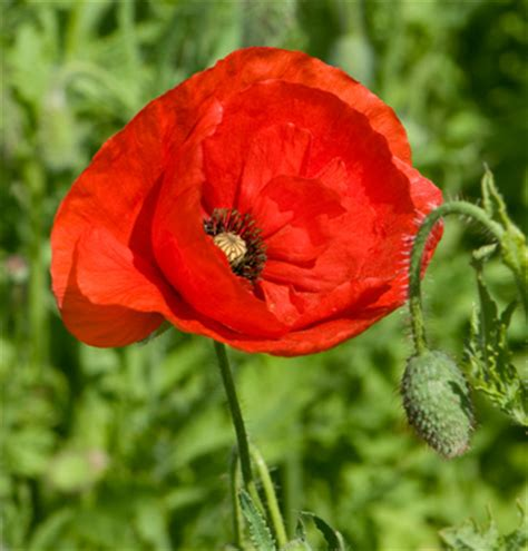 growing poppies plant now growgoodnz