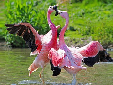 animal birds flamingos love foreplay hd desktop wallpaper