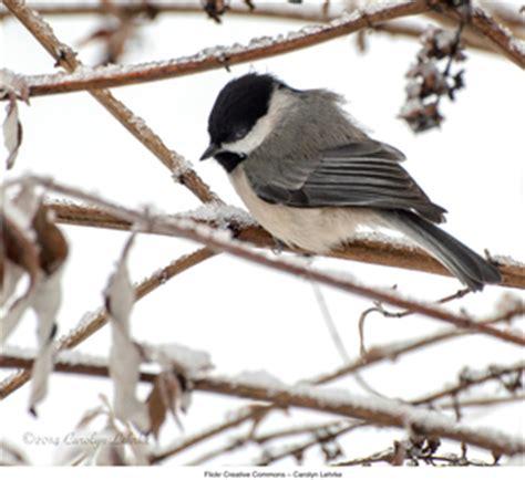 winter species black capped chickadee hamilton college