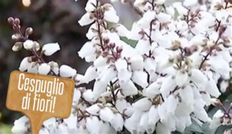 cespuglio fiorito cespuglio fiorito sempreverde il caenothus 232 la pianta