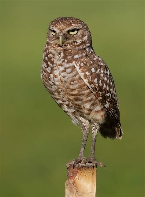 paris burrowing owl