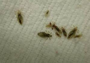 what color are lice pictures of nits and lice