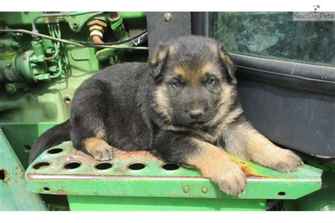 german shepherd puppies tulsa mr deeks german shepherd puppy for sale near tulsa oklahoma 24333d44 9fc1