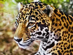 Leopard Panther Jaguar Jaguar Leopard Oder Panther Wo Ist Der Unterschied