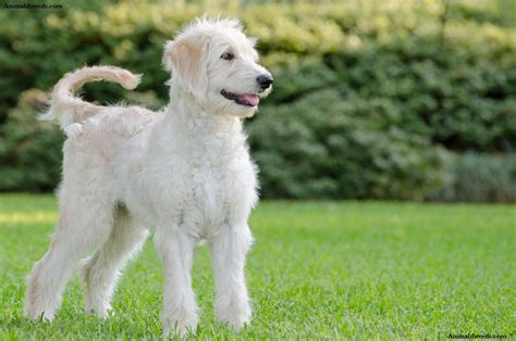 doodle breeds goldendoodle puppies rescue pictures information temperament characteristics