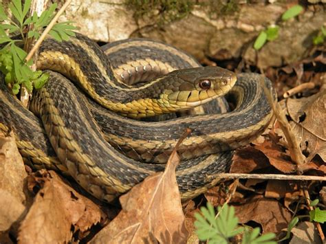 Garden Snake Nebraska Garter Snake Snake Facts And Information