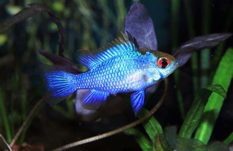 blue ram electric blue ram fish reptiles