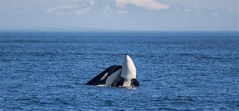 seattle whale watching boat tours western prince whale watching san juan island near seattle