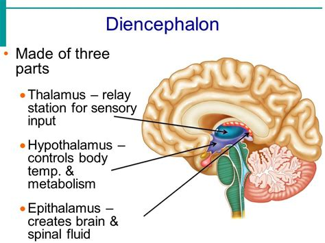 diagram of diencephalon unit 3 1 the nervous system ppt