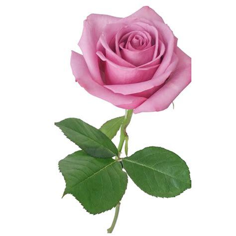 imagenes de rosas blancas hermosas imagui ramo rosas hermosas enviar flores a domicilio