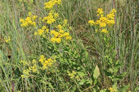 ragweed identifying ragweed vs goldenrod