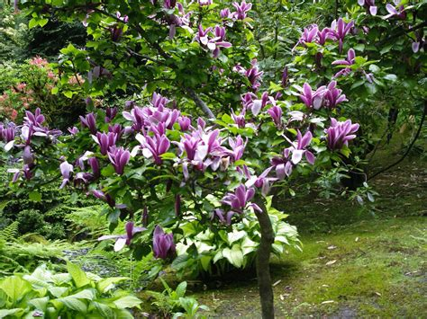 magnolia tree japanese garden butchart gardens victoria b c flickr photo sharing