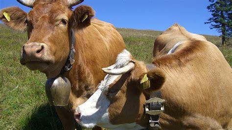alimentazione vacche da latte il glicerolo nell alimentazione della vacca da latte