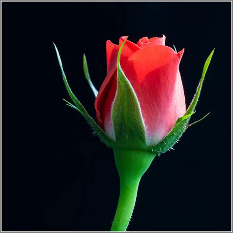 Most Beautiful Colors by 41 Lovely Rose Pictures