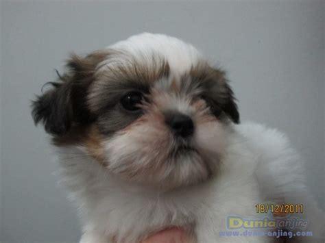 Pajangan Anjing Shin Tzu dunia anjing jual anjing shih tzu dijual shihtzu puppy