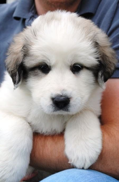 great pyrenees puppies michigan best beds for great danes pet photos gallery