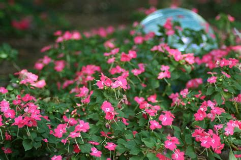 impatiens are popular shade loving annuals hgtv