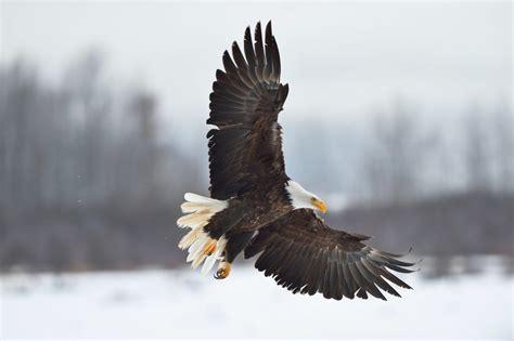 Humm3r Eagle alaska bald eagle photo tour bald eagle photography