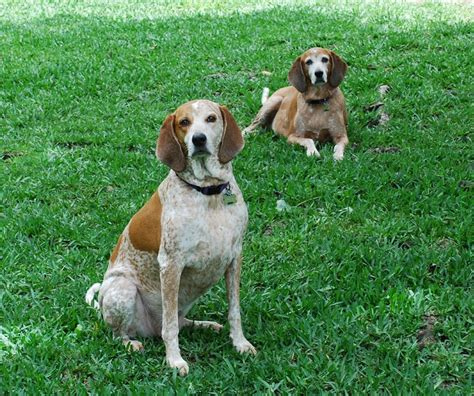 redtick coonhound puppies redtick coonhounds redtick i theese dogs