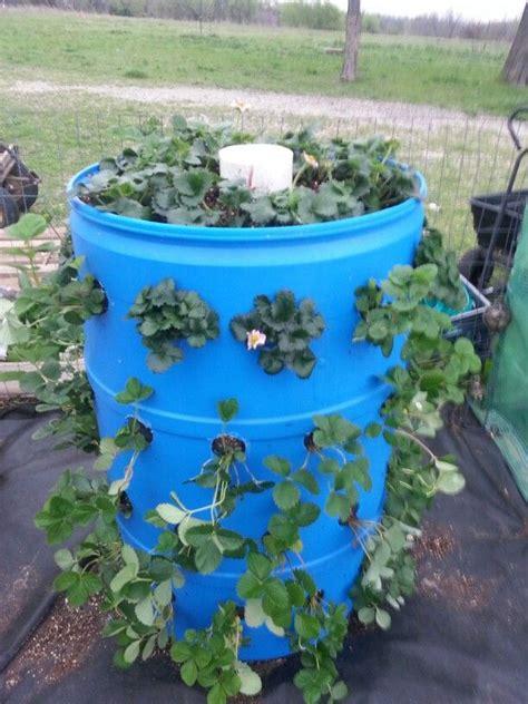 strawberry barrel aquaponic gardening garden yard