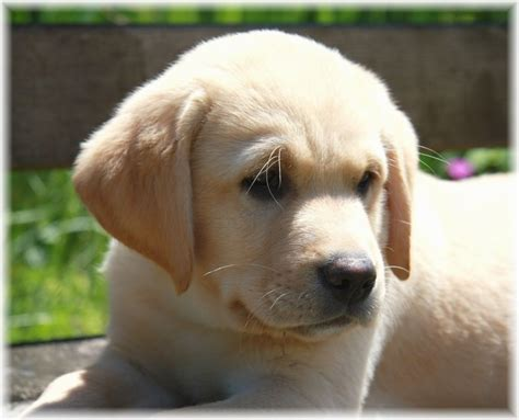 baby puppies for adoption 2017 miniature labrador puppies for adoption types pictures images wallpapers