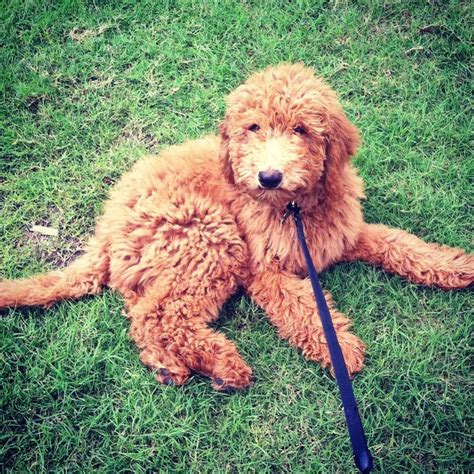 doodle puppies for sale in ohio 1000 ideas about f1b goldendoodle on