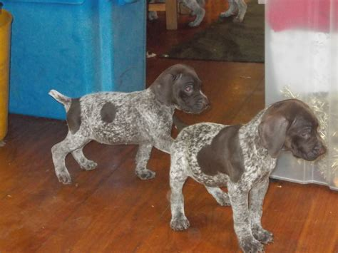 pointer puppies for sale german shorthaired pointer puppies for sale swansea swansea pets4homes