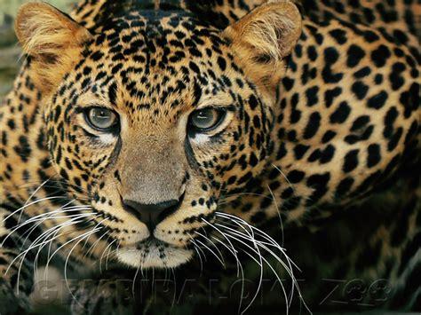 Jual Kostum Anak Lucu Macan Tutul gambar klasifikasi harimau panthera tigris berbagi ilmu pengetahuan baca sistem pencernaan di