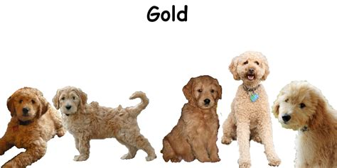 goldendoodle club of america goldendoodle colors 28 images will my reddish apricot