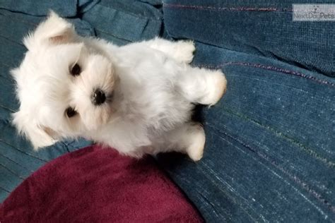 maltese puppies for sale in ms maltese puppy for sale near jackson mississippi