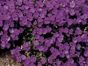 ground cover specialists aubrieta purple cascade