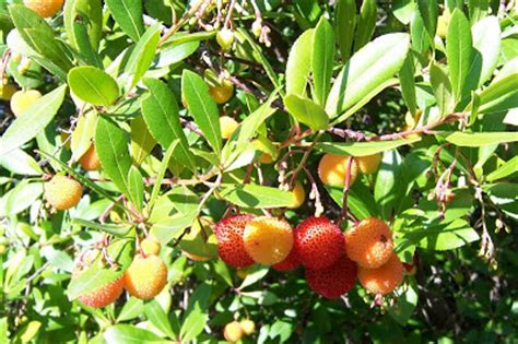strawberry tree fruit recipes path to self sufficiency of strawberry trees