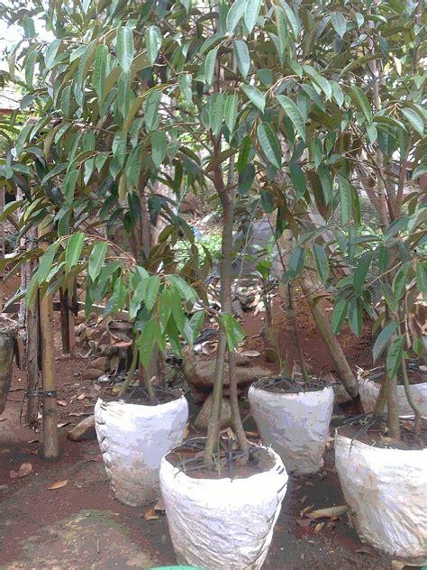 Jual Bibit Alpukat Australia dhelta jual bibit buah durian bawor 3tahun sai 5 tahun