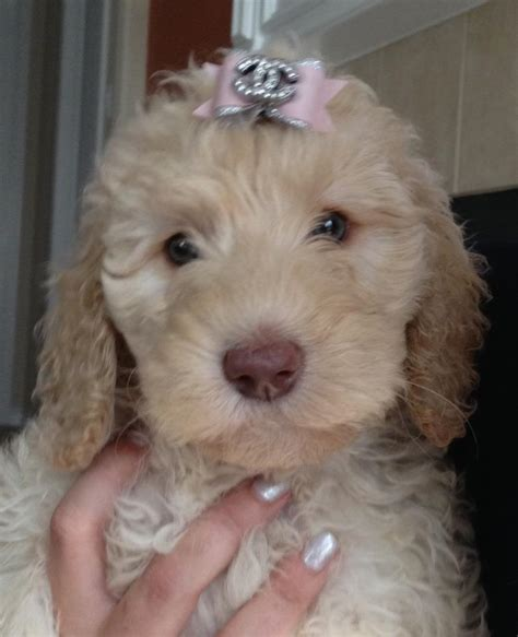 mini doodle iowa mini goldendoodles for sale by mini goldendoodle breeders