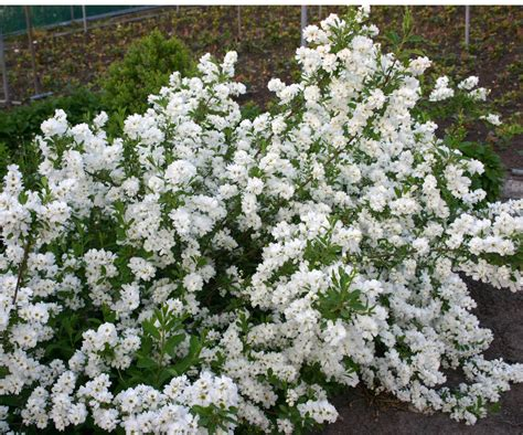 shrub with white flowers new plants morden nurseries and garden center