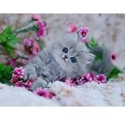 Persian Cat  แลกเปลี่ยนความรู้
