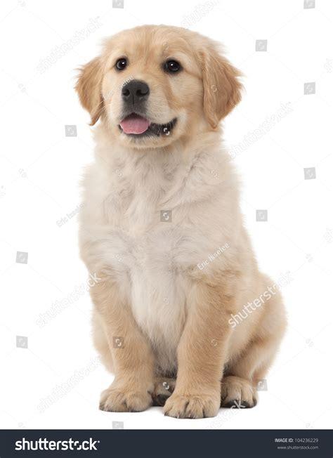 golden retriever puppies 1 month golden retriever puppy 2 months sitting against