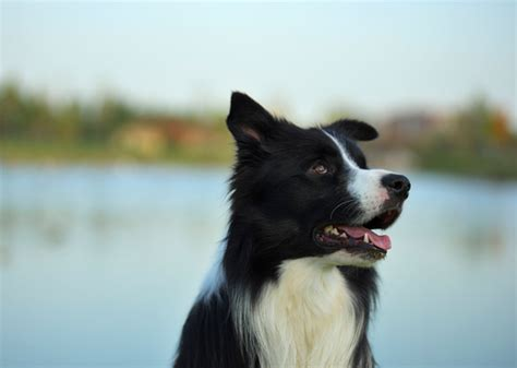 most trainable dogs border collie magazine breeds picture