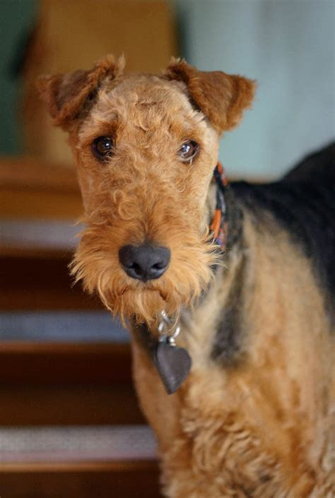airedale puppy 1000 images about airedale terrier on