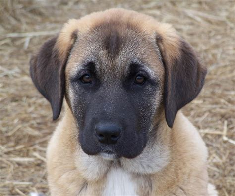 anatolian dogs anatolian shepherd puppy www pixshark images galleries with a bite