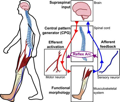 central pattern generator spinal neurons control strategies for active lower extremity prosthetics