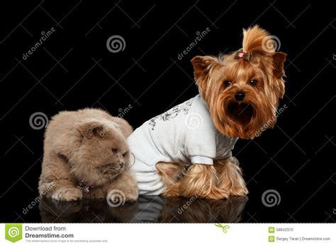 scottish yorkie scottish terrier scottish cat and terrier isolated stock