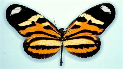 pattern formation and eyespot determination in butterfly wings home page sites biology duke edu