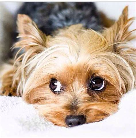 adorable yorkies 10 reasons why you should never own yorkies