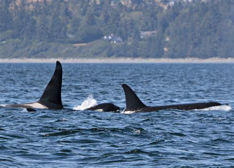 Whale L by July 17 2017 Humpback Whales L Pod Orcas Orca Spirit Adventures