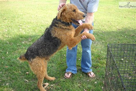 airedale puppies for sale near me airedale terrier puppy for sale near tulsa oklahoma 34c95327 1481