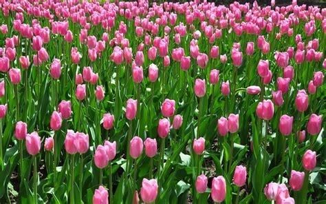 wallpaper pink tulip pink tulips on the field wallpaper flower wallpapers
